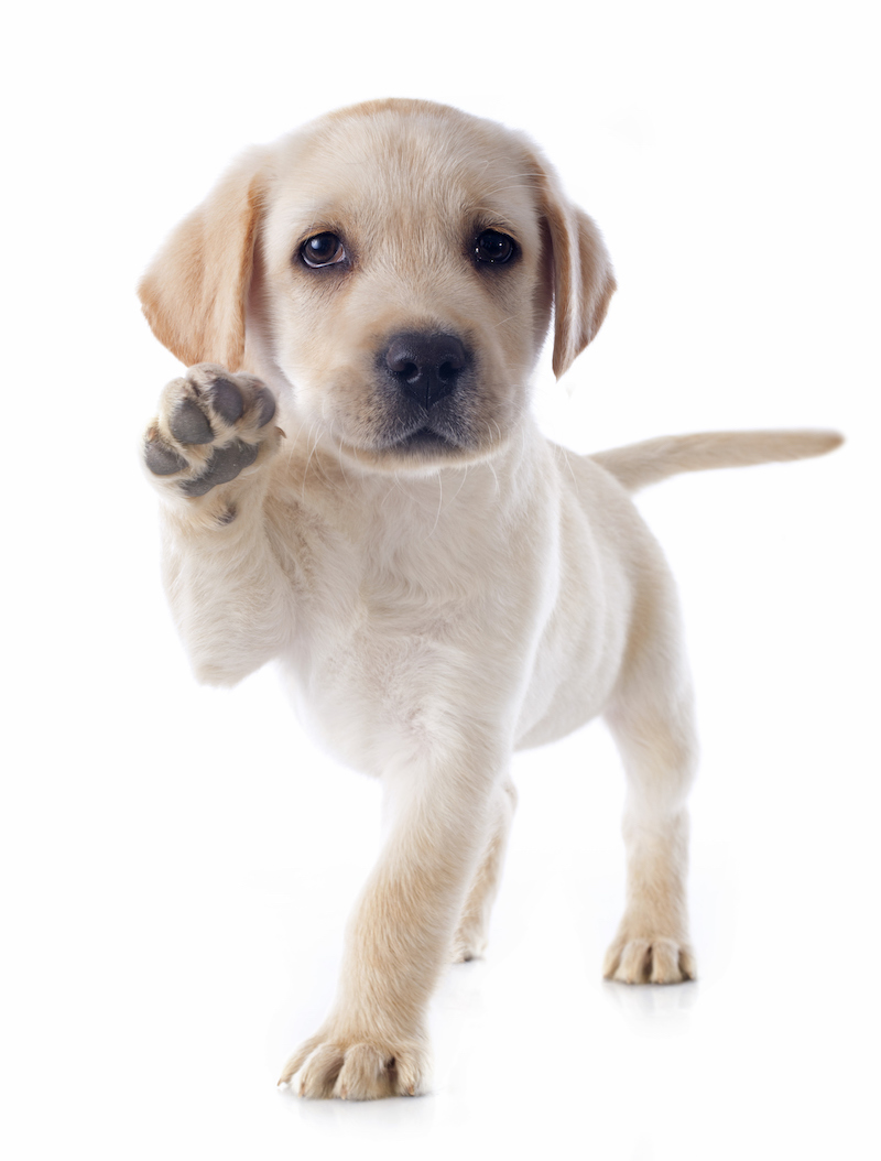 purebred puppy labrador retriever in a studio